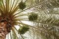 Data a palmeira Fotografia de Stock