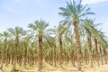 Date figs palms orchard in Middle East desert Royalty Free Stock Photo
