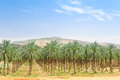 Date palm orchard plantation oasis in Middle East desert Royalty Free Stock Photo