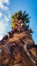 Date palm tree from below