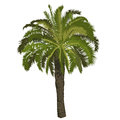 Date palm tree in color