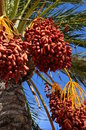 Date palm tree with dates in trapani sicily Stock Image