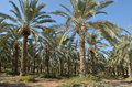 Date palm trees the near the sea of galilee in israel Stock Image