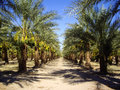 Date palm trees palms full of fruit in california Royalty Free Stock Images