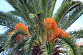 Date palm trees phoenix canariensis canary Royalty Free Stock Images