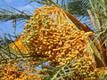 Date palm in the tuareg tunisia Stock Image