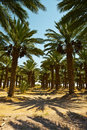Date Palms Royalty Free Stock Photos