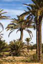 Date Palms Stock Image