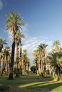 Date palms in an oasis, Death Valley Royalty Free Stock Photos