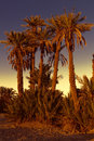 Date palmtrees with sunset in marocco africa Royalty Free Stock Images