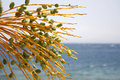 Date tree, red sea  resort Royalty Free Stock Photography