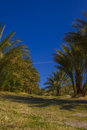 Date trees in Death Valley Nation Park, California Royalty Free Stock Photo