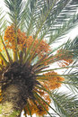 Dates on a palm tree Royalty Free Stock Photo