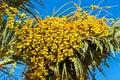 Dates, palm tree fruits Royalty Free Stock Photo
