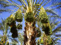 Dates ripening on the palm trees california date palms with fruit Stock Photography