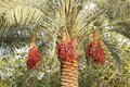 Dates in a tree are fruits that have been staple food of the middle east for thousands of years Stock Photo