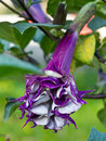 Datura Flower Stock Photography