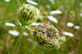 Daucus carota in bloom in a grassland in zelhem the netherlands Stock Photography