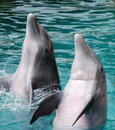 Dauphins de applaudissement Image stock