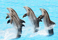 Dauphins de Bottlenose (Turisops Truncatus) Photos stock