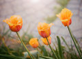 Davenport tulips. Flower tulips background. Beautiful view of red and yellow tulips under sunlight landscape at the middle of spri Royalty Free Stock Photo
