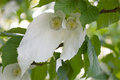 Davidia involucrata or handkerchief tree white flowers of Stock Photo