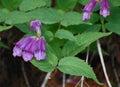 Davidson's Penstemon Wildflowers
