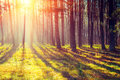 Dawn in the pine forest Royalty Free Stock Photo