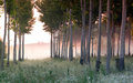 Dawn in the poplar forest trees with fog Royalty Free Stock Image