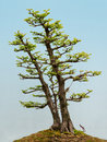Dawn redwood bonsai metasequoia glyptostroboides tree Stock Images