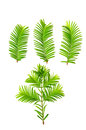 Dawn-redwood ( Metasequoia glyptostroboides ) leaf Royalty Free Stock Photo