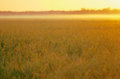 Dawn soft and warm golden light of on the wetland long grass at sunrise Royalty Free Stock Photos
