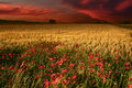 Dawn with a view on wheat field and poppies Royalty Free Stock Photo
