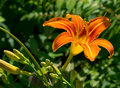 Day Lily Stock Photography