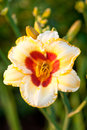 Day Lily in garden Royalty Free Stock Photo