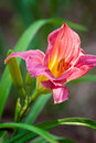 Day lily pink with green stems with a soft background Royalty Free Stock Image