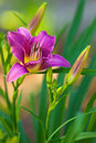 Day lily purple with green leaves against a soft background Royalty Free Stock Images