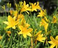 Day lily Royalty Free Stock Photo