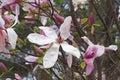 Daybreak magnolia flowers x hybrid hybrid between x brooklynensis woodsman and x hybrid tina durio Royalty Free Stock Image