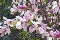 Daybreak magnolia flowers x hybrid hybrid between x brooklynensis woodsman and x hybrid tina durio Stock Images