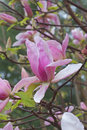 Daybreak magnolia flowers x hybrid hybrid between x brooklynensis woodsman and x hybrid tina durio Royalty Free Stock Images