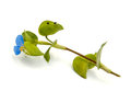 Dayflower asiatic commelina communis on a white background Stock Photography