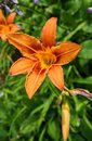 Daylilies blooming with orange flowers - Hemerocallis, in the summer garden Royalty Free Stock Photo
