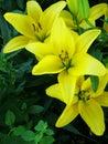 Daylilies close up Royalty Free Stock Photo