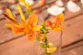 Daylilies In Vase (Hemerocallis fulva) Royalty Free Stock Photo