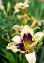 Daylily closeup of a flower in garden selective focus Stock Photo