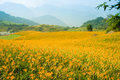 Daylily flower hill on a in taiwan Stock Image