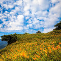 Daylily flower at sixty stone mountain in taiwan hualien festival september Stock Images