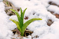 Daylily shoot in the snow Royalty Free Stock Photo