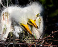 Days old baby white egrets huddle together for warmth while parents watch above Stock Photography